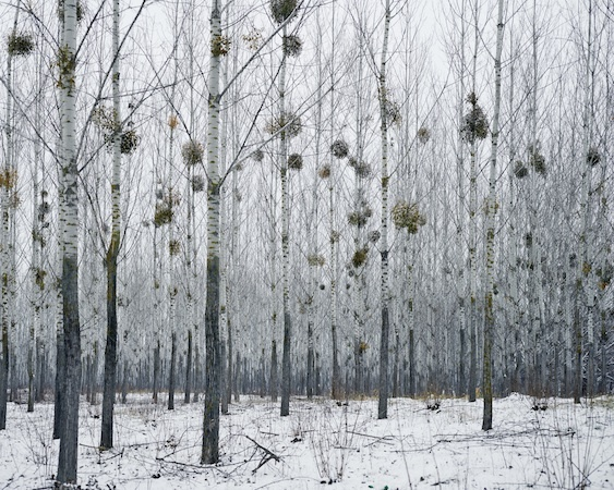 Forest With Mistletoe, West Romania, from the series 'Notes for an Epilogue', 2011-2015 © Tamas Dezso/The Photographers' Gallery