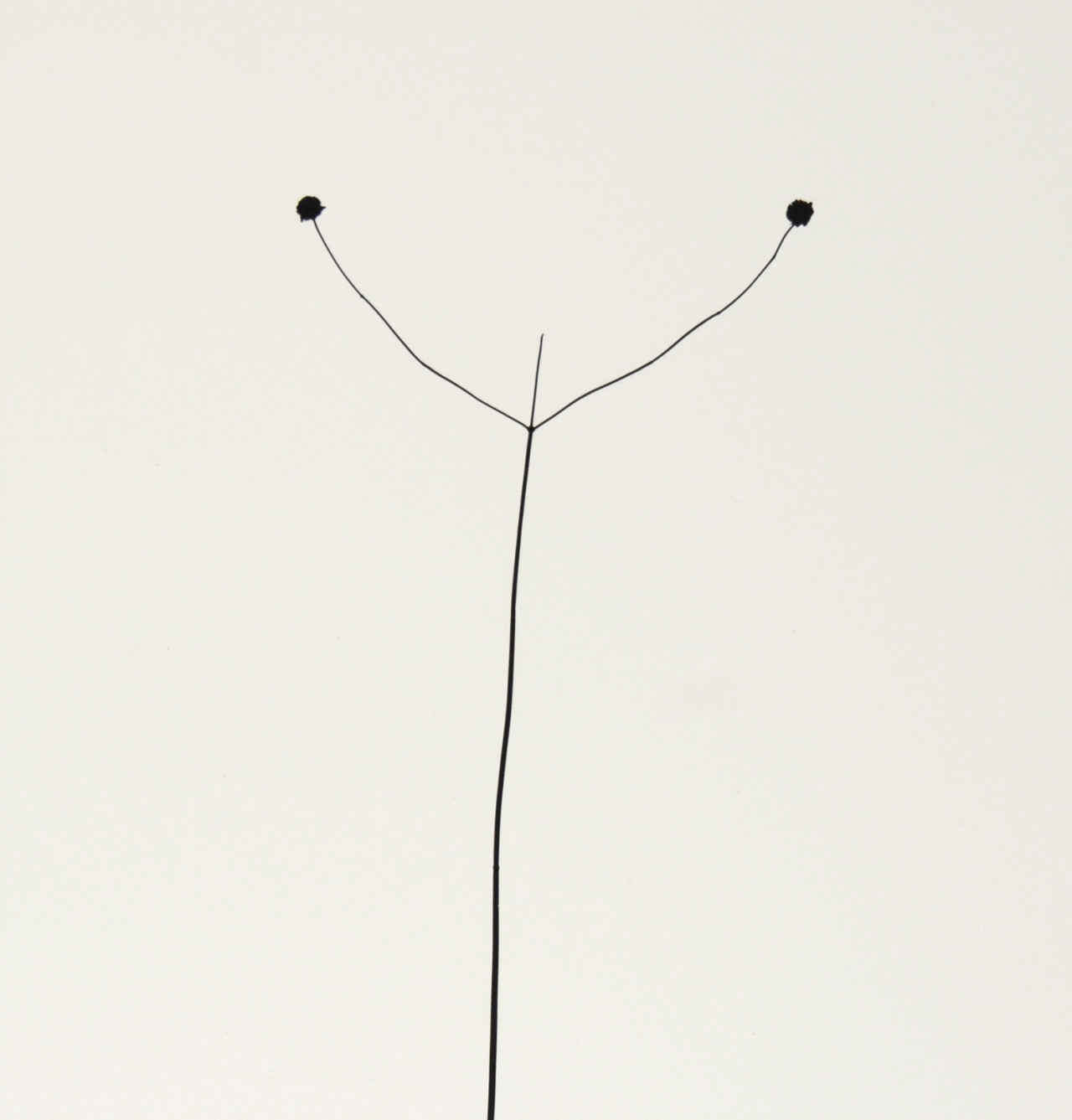 Harry Callahan, Weed Against Sky, Detroit - The South Edition
